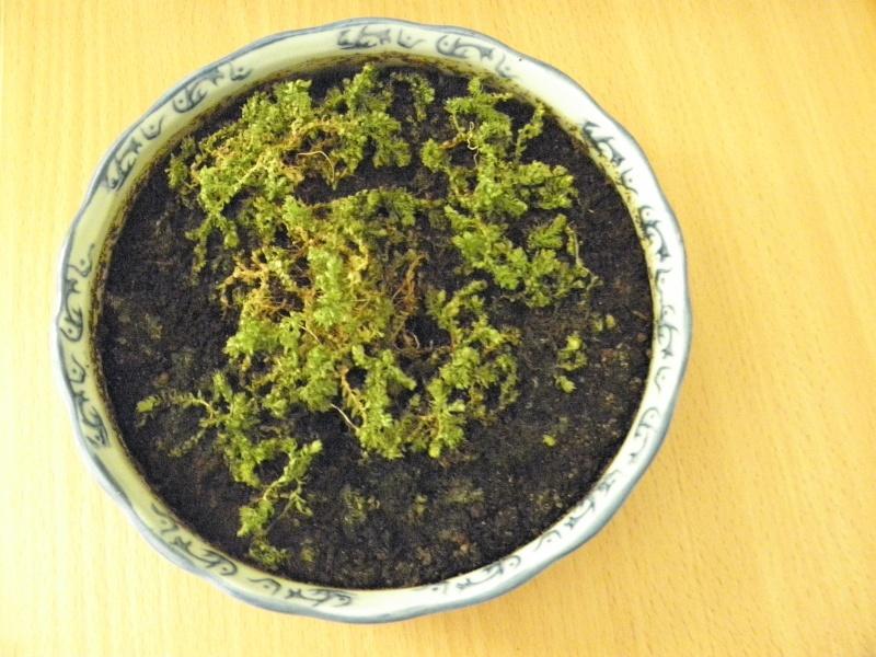liste des plantes pour terrariums sur aqua51 P5150310