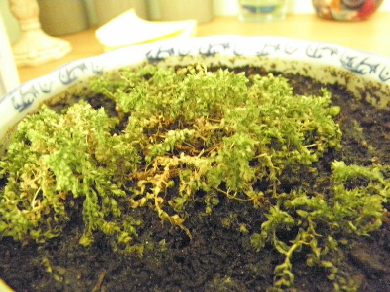 liste des plantes pour terrariums sur aqua51 P5150311