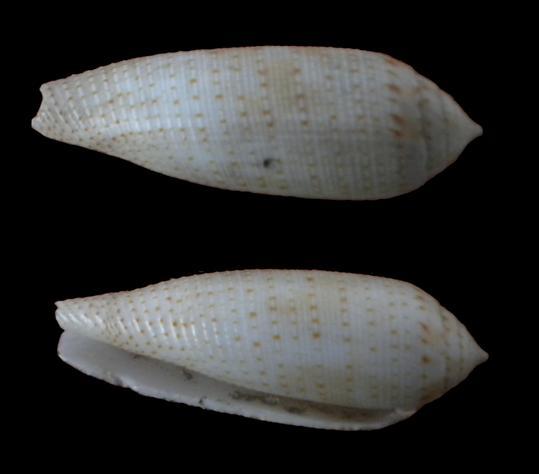 Conus : 1, 2 & 3 pulicarius, 4 nussatella, 5 legatus (?), 6 tessulatus f. (?), 7 eburneus   1_iden10