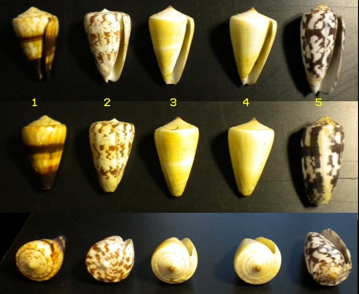 Conus : 1 miles, 2 caracteristicus, 3 quercinus, 4 quercinus, 5 striatus 5_iden10