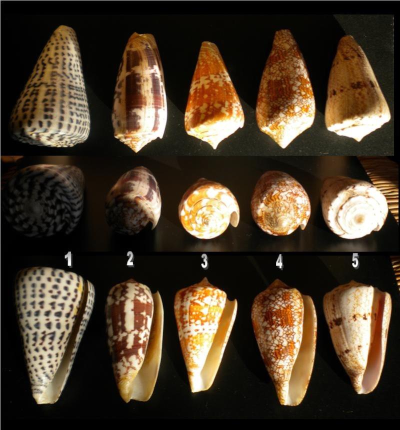Conus : 1 leopardus, 2 striatus, 3 amadis castaneofasciatus, 4 textile, 5 araneosus araneosus  5_iden11