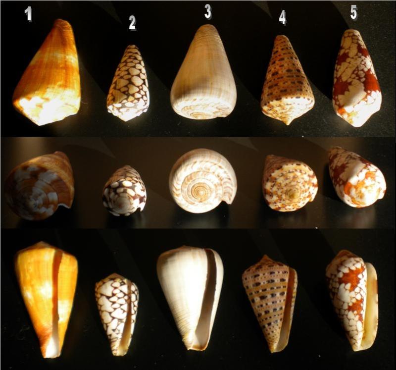 Conus : 1 vexillum, 2 marmoreus, 3 loroisii, 4 genuanus, 5 episcopatus 5_iden12