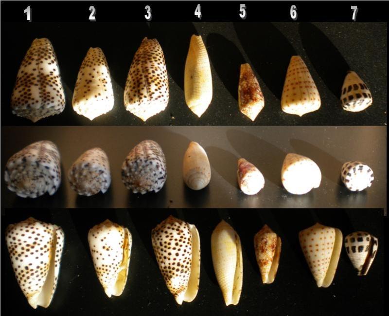 Conus : 1, 2 & 3 pulicarius, 4 nussatella, 5 legatus (?), 6 tessulatus f. (?), 7 eburneus   7_iden10