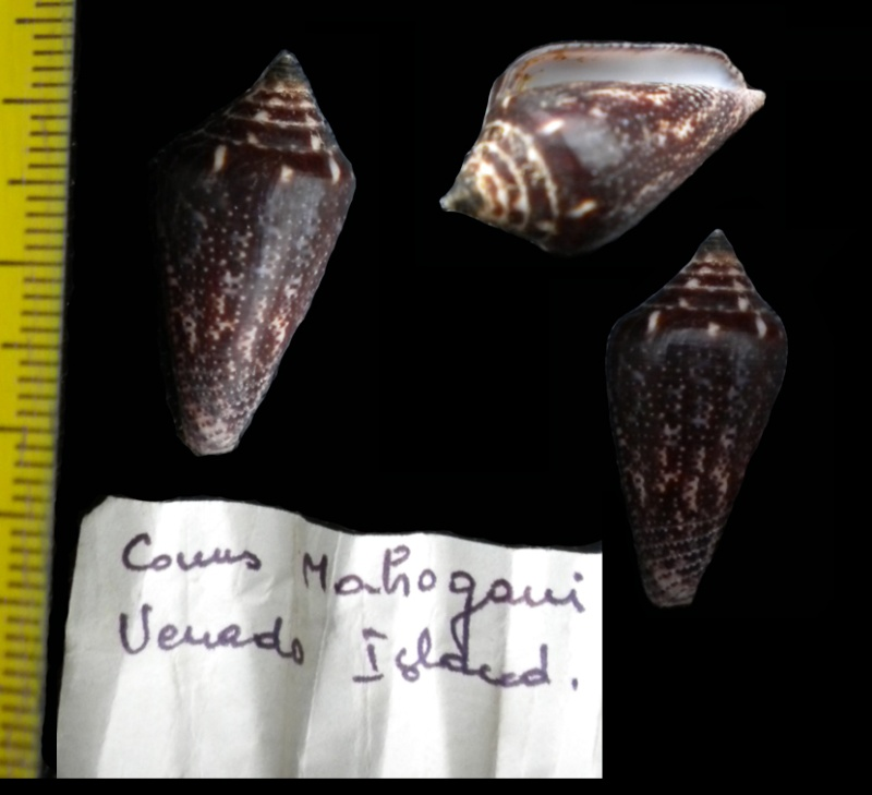 Conasprella (Ximeniconus) mahogani (Reeve, 1843) Canes-27