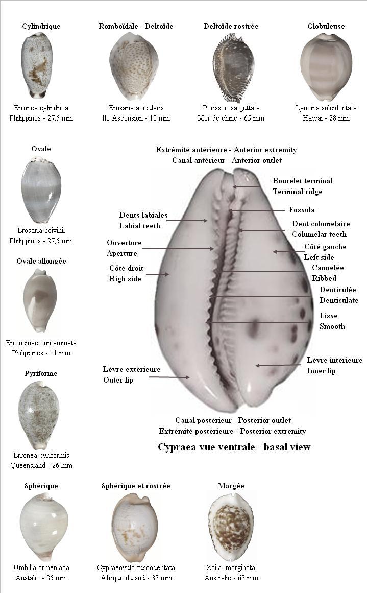 Formes des Cypraea Descri10