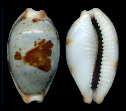 Bistolida stolida salaryensis - Bozzetti, 2008 Salary10