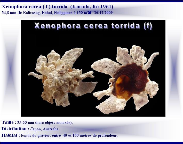 Xenophora torrida Kuroda & Ito, 1961 voir Xenophora cerea Reeve, 1845 X-cere10