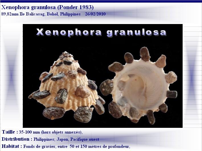 Xenophora granulosa - Ponder, 1983  X-gran11
