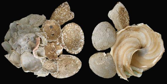 Xenophora minuta - Qi & Ma, 1986 X-minu12