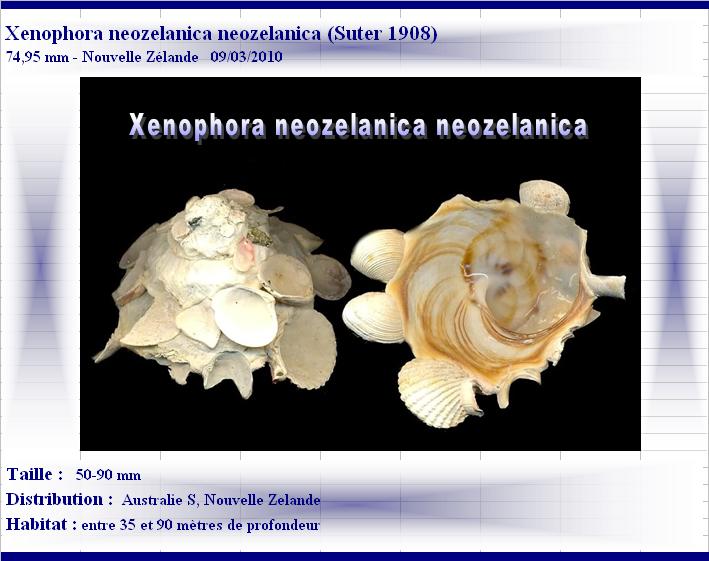 Xenophora neozelanica neozelanica - Suter, 1908 X-neoz12