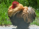 Cherche famille d'accueil pour mon jeune coq Cimg2811