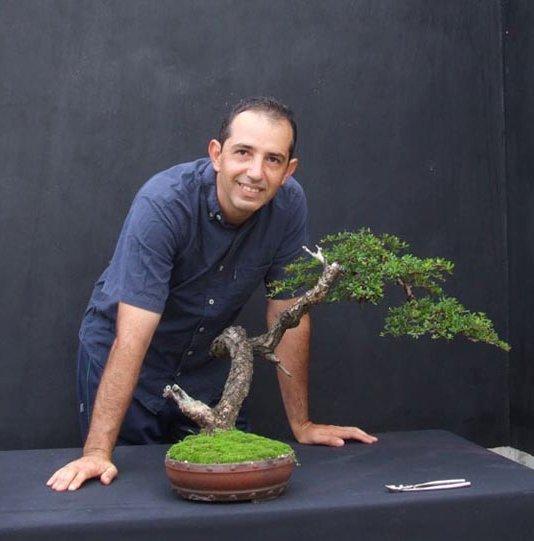 A few pictures of Terminalia molineti (Bucida spinosa) 34743_10