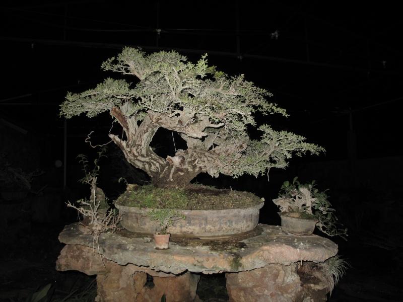 A few pictures of Terminalia molineti (Bucida spinosa) 34811
