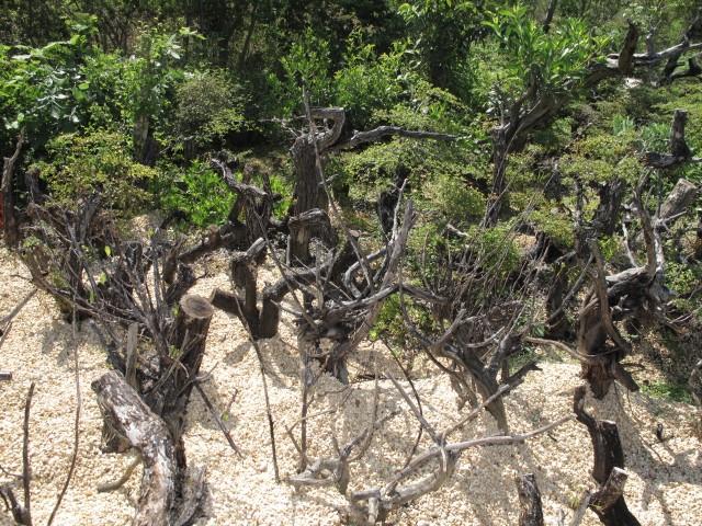 A few pictures of Terminalia molineti (Bucida spinosa) Img_5711