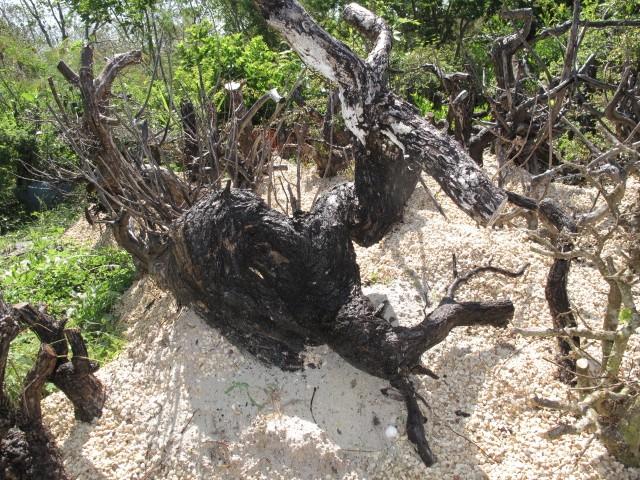 A few pictures of Terminalia molineti (Bucida spinosa) Img_5714