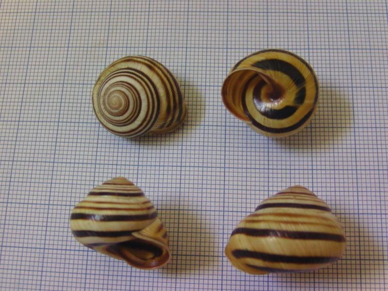 Caucasotachea vindobonensis (Pfeiffer, 1828) Bild5513