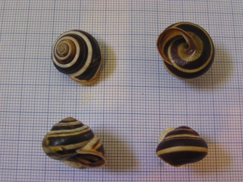 Caucasotachea vindobonensis (Pfeiffer, 1828) Bild5514