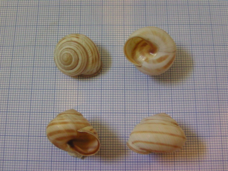 Caucasotachea vindobonensis (Pfeiffer, 1828) Bild5515