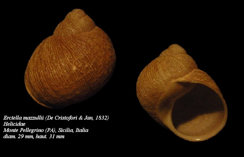 Erctella mazzullii (De Cristofori & Jan, 1832) & Erctella insolida (Monterosato, 1892) & Erctella cephalaeditana (Gianuzzi-Savelli, Sparacio & Oliva, 2012) Copy_o12
