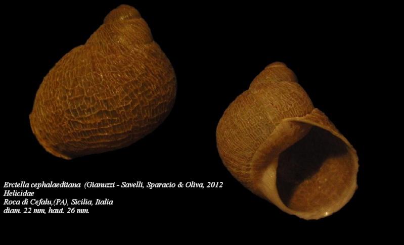 Erctella mazzullii (De Cristofori & Jan, 1832) & Erctella insolida (Monterosato, 1892) & Erctella cephalaeditana (Gianuzzi-Savelli, Sparacio & Oliva, 2012) Erctel14
