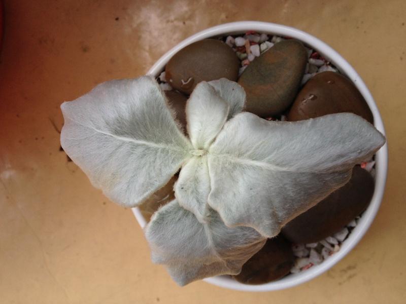 Magnifique plante inconnue [Sinningia leucotricha] - Page 2 Img_1111