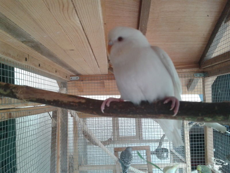 Mes perruche 2012  2012-022