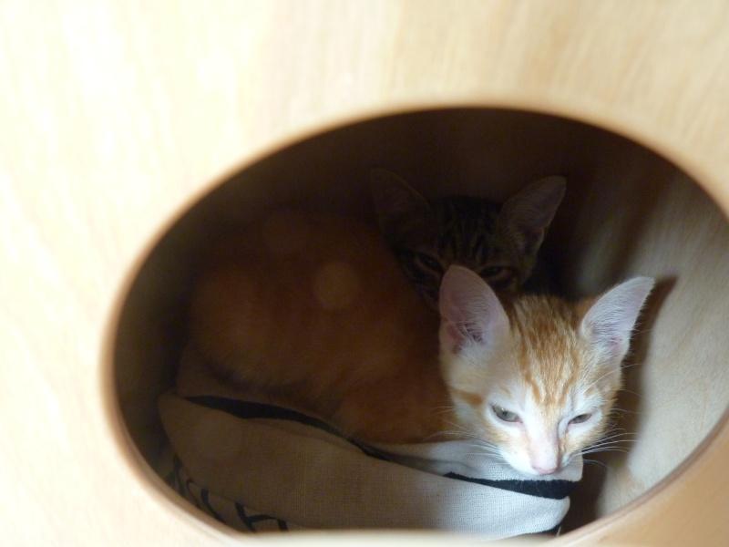Nouveau foyer pour 2 chatons... P1030813