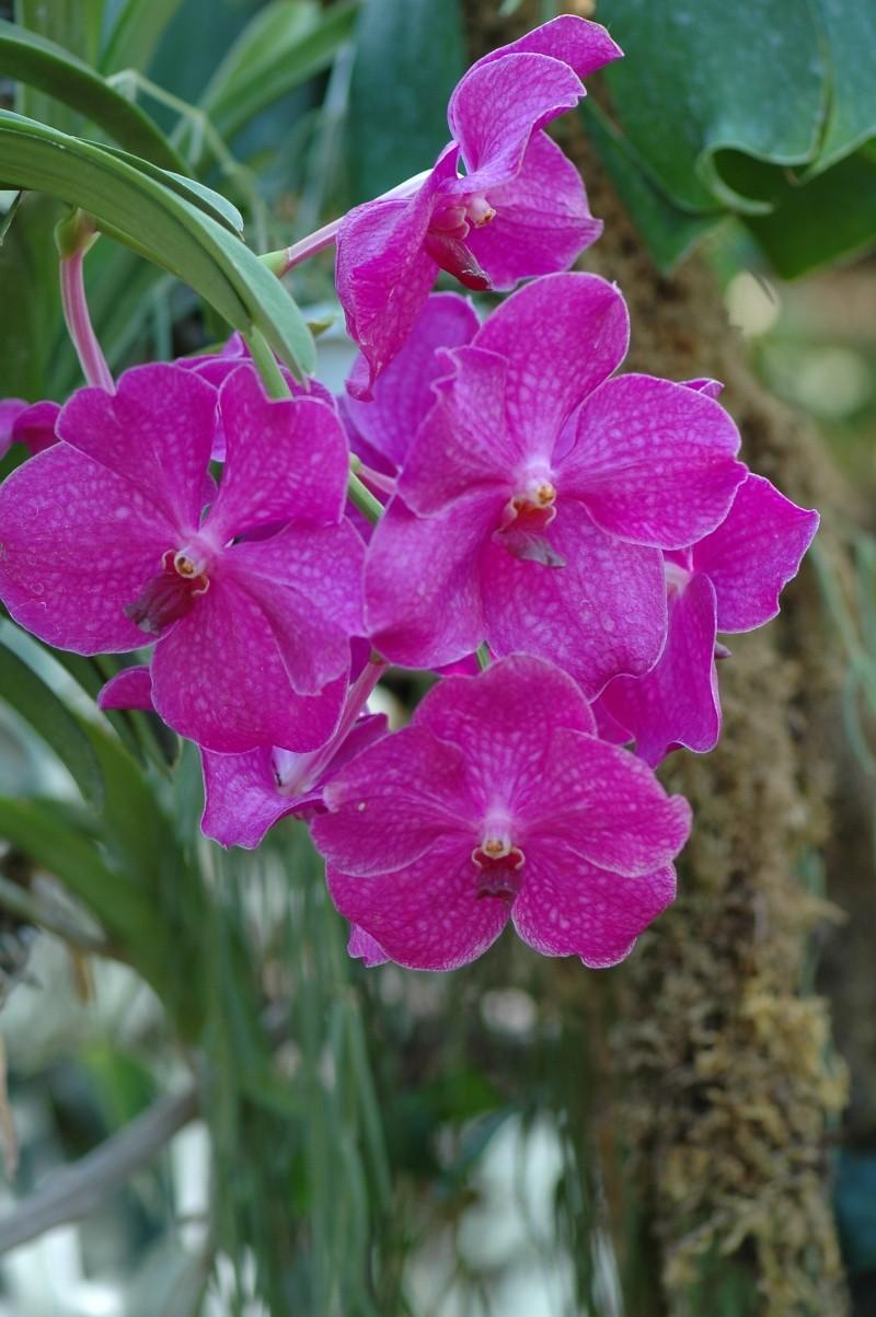 orchidée Papill13