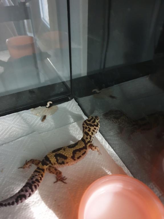 gecko leopard de 1 an avec un ventre inquiétant 15664510