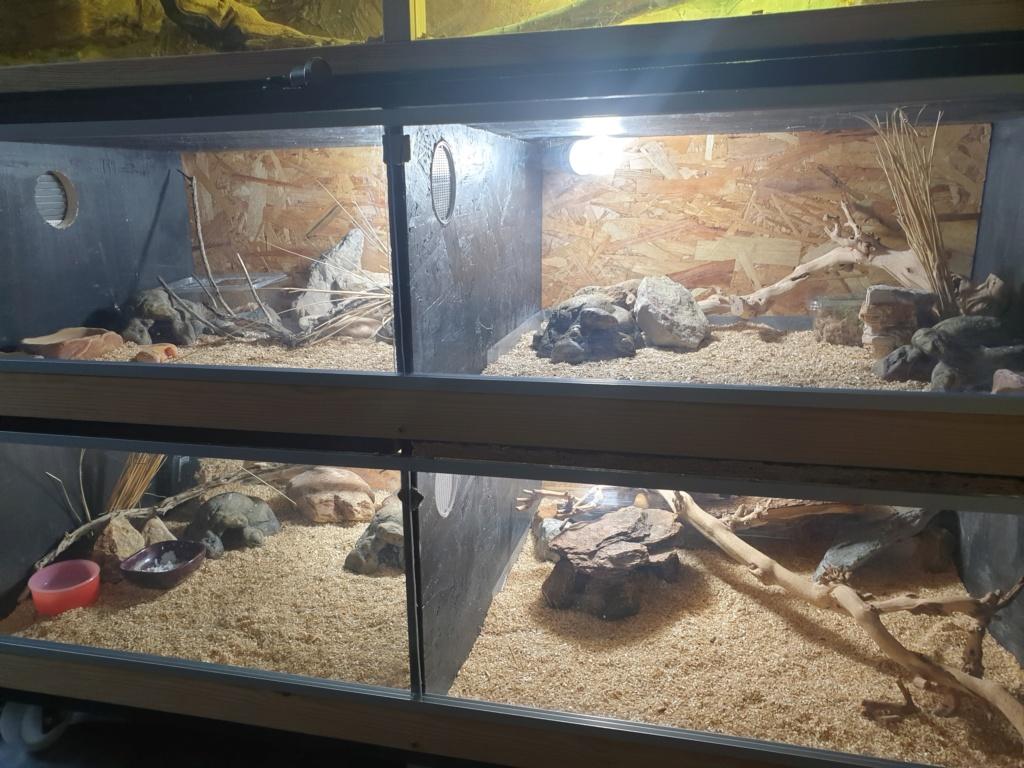 gecko leopard de 1 an avec un ventre inquiétant 15664511