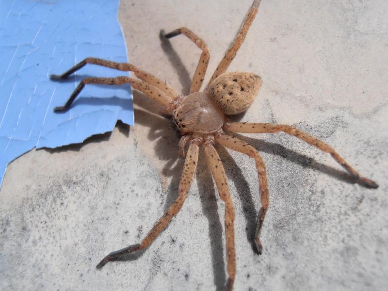 [Olios argelasius] Sparassidae Olios argelasius femelle  Pb060010