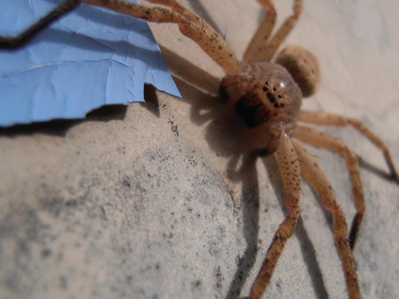 [Olios argelasius] Sparassidae Olios argelasius femelle  Pb060011