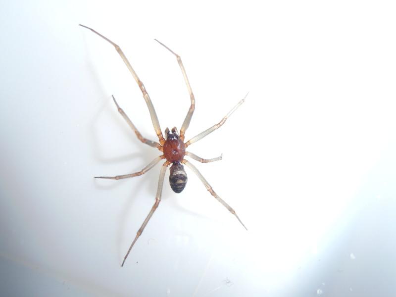 [Steatoda grossa] Quelle est cette araignée ?? Pb090013
