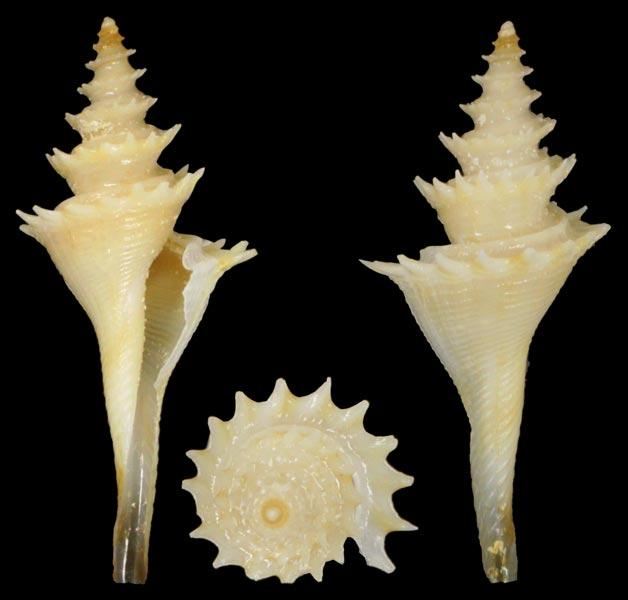 Cochlespira radiata - (Dall, 1889) Cochle10