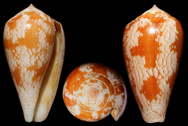 Conus (Pionoconus) fischoederi   Röckel & da Motta, 1983 Fischo10