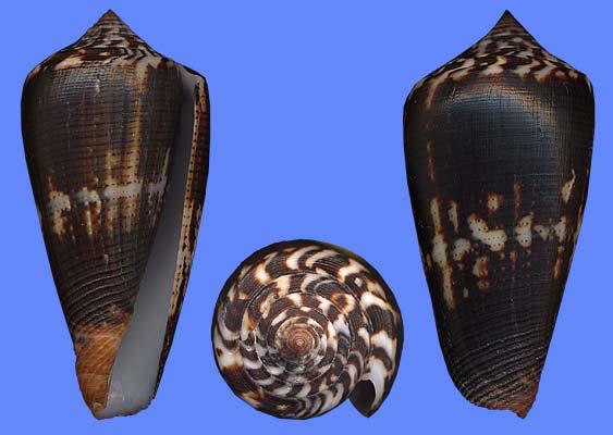 Conus (Pionoconus) magus   Linnaeus, 1758 Magus_10