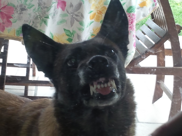 apprendre à son chien à montrer les dents