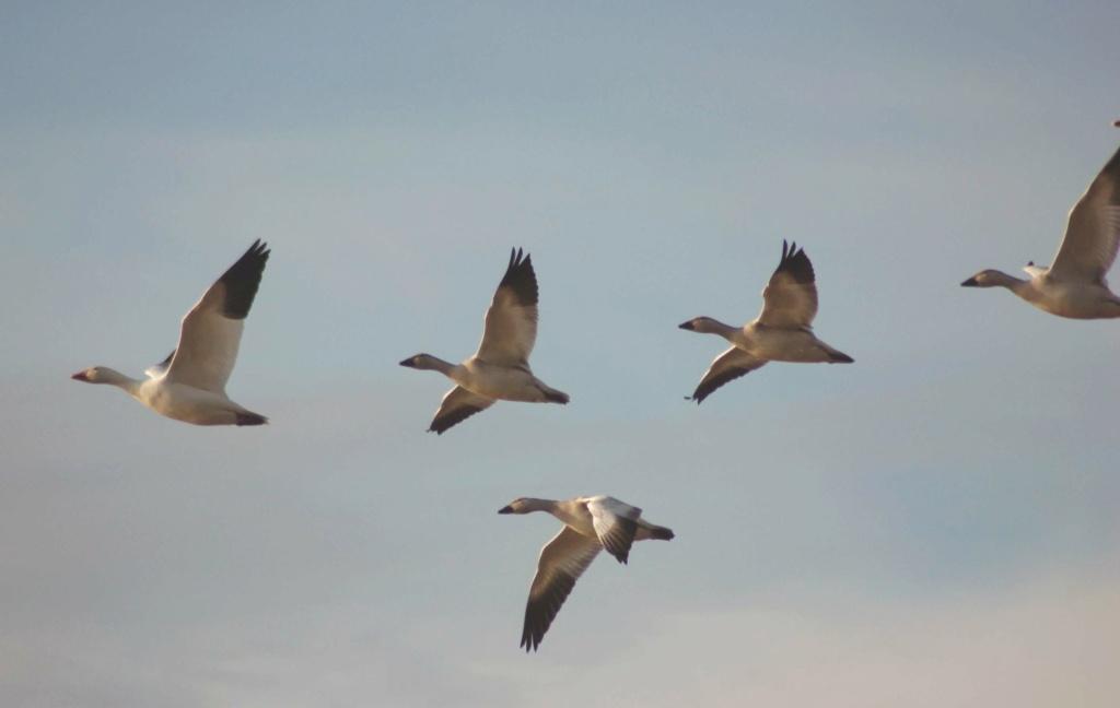 migration saisonnière Oies_s10