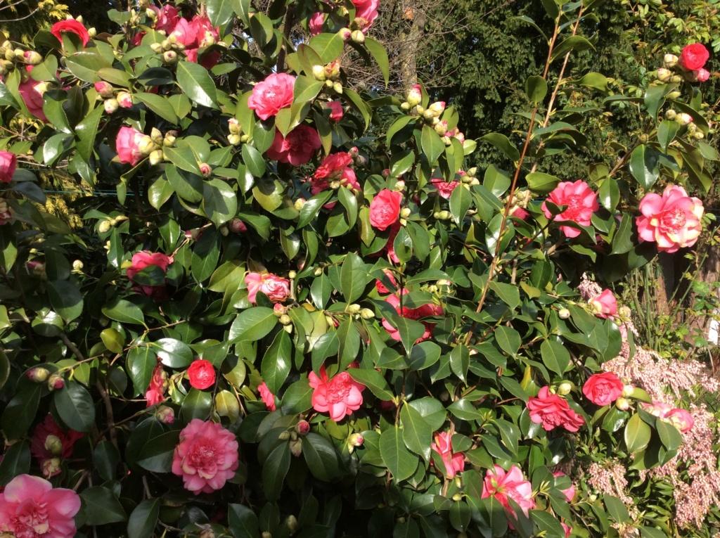 Camellia - Kamelien - Seite 9 78367410