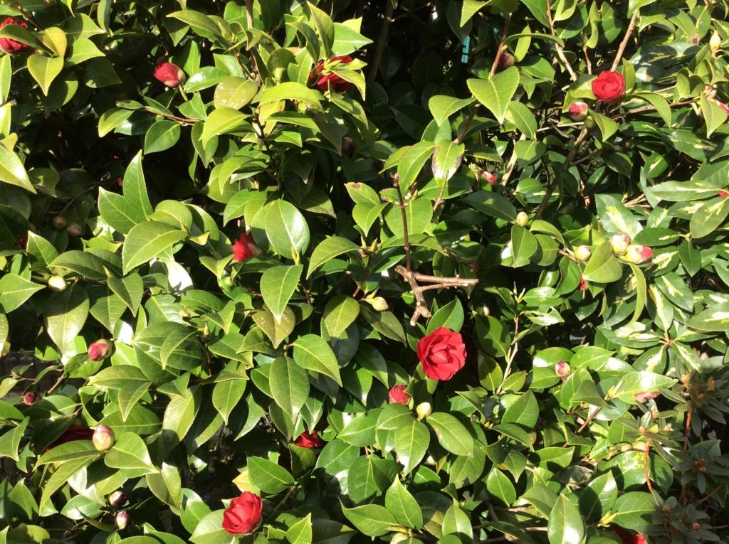 Camellia - Kamelien - Seite 9 C9324d10
