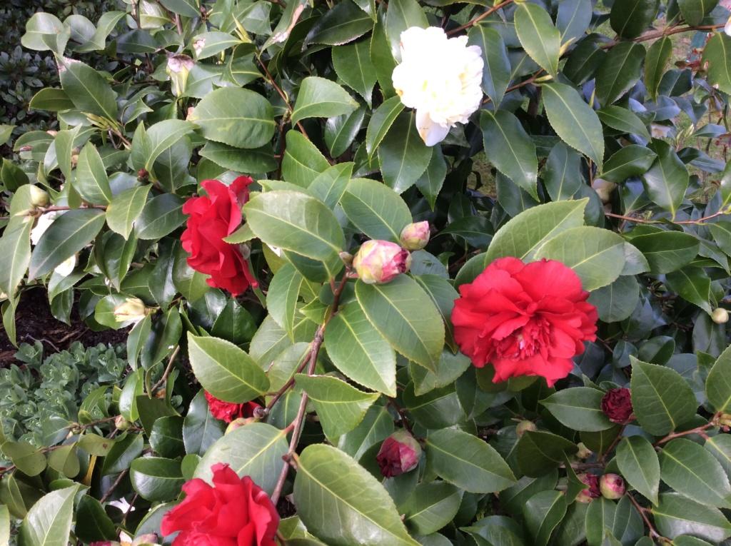 Camellia - Kamelien - Seite 9 F4c22310
