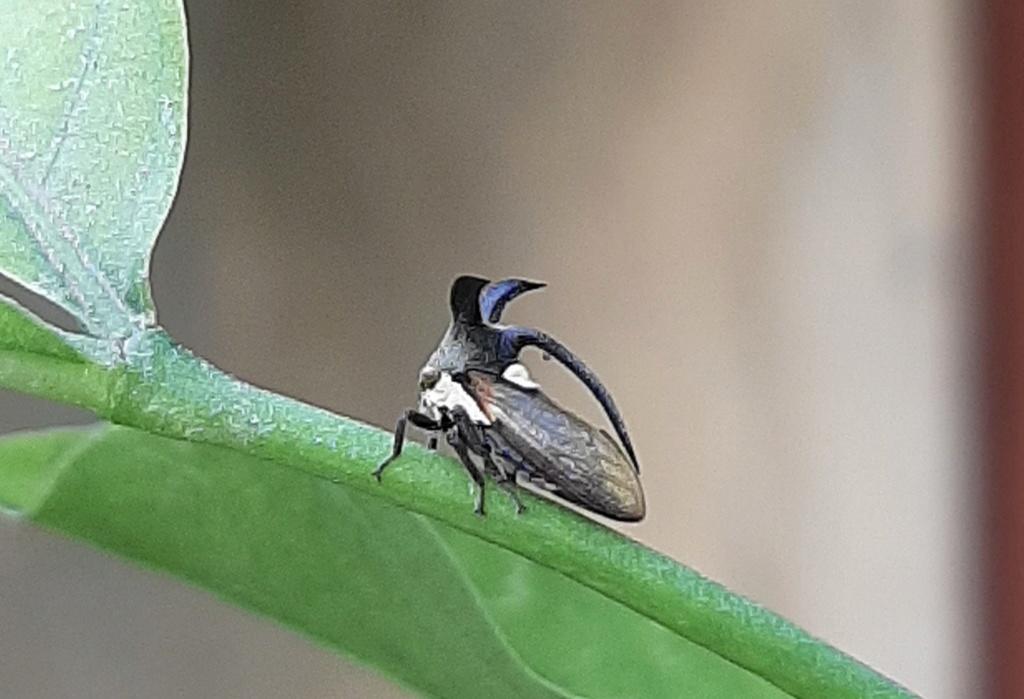 Euphorbia pulcherima Jacky10