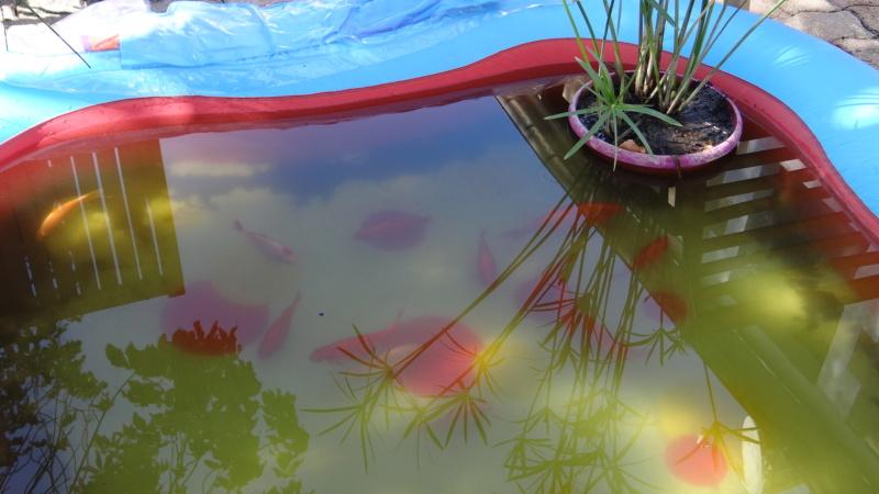 Notre petit bassin se refait une beauté Dsc02717
