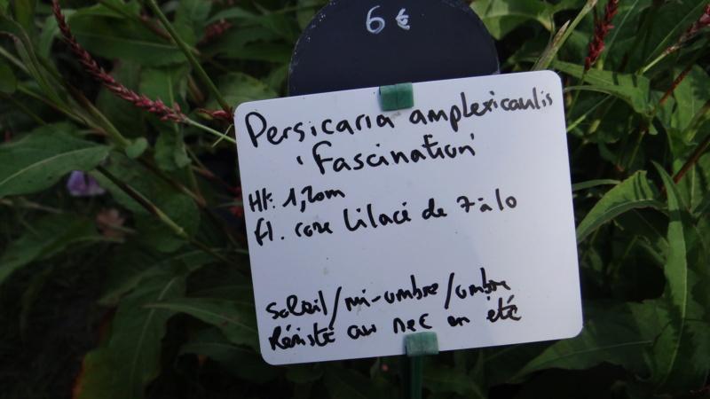 Persicaria amplexicaulis Dsc03034