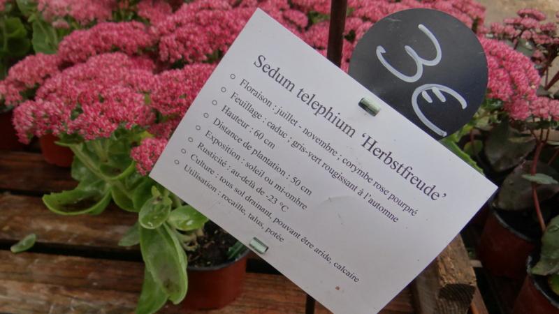 Sedum spectabile, Hylotelephium spectabile - Page 7 Dsc03130