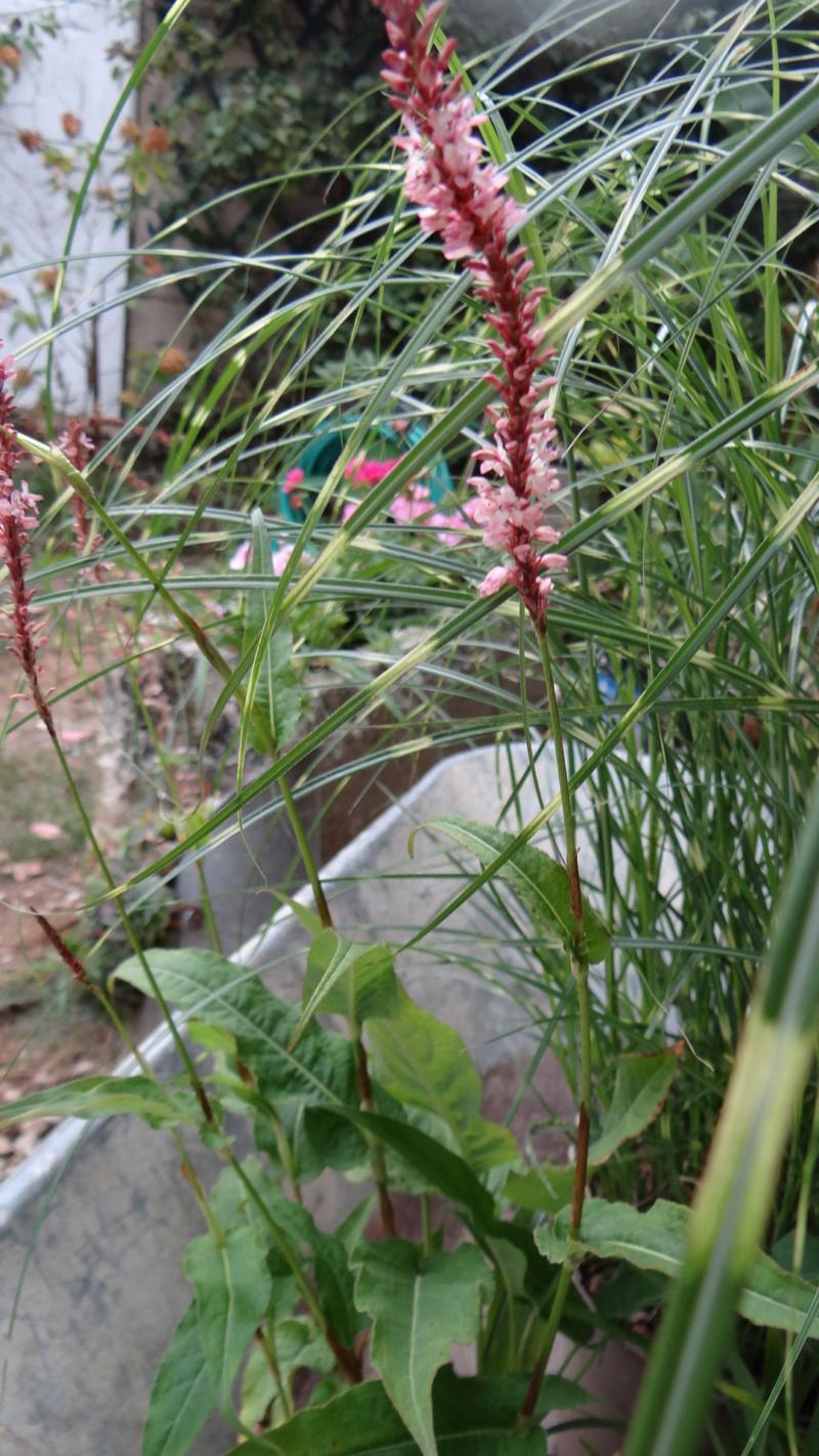 Persicaria amplexicaulis Dsc03132
