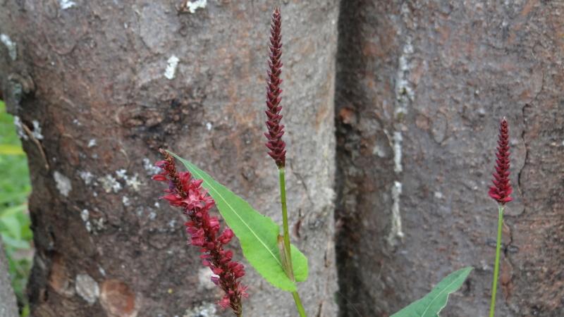 Persicaria amplexicaulis Dsc03215