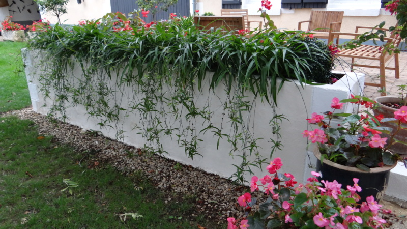 Chlorophytum ou plante araignée  - Page 2 Dsc07523
