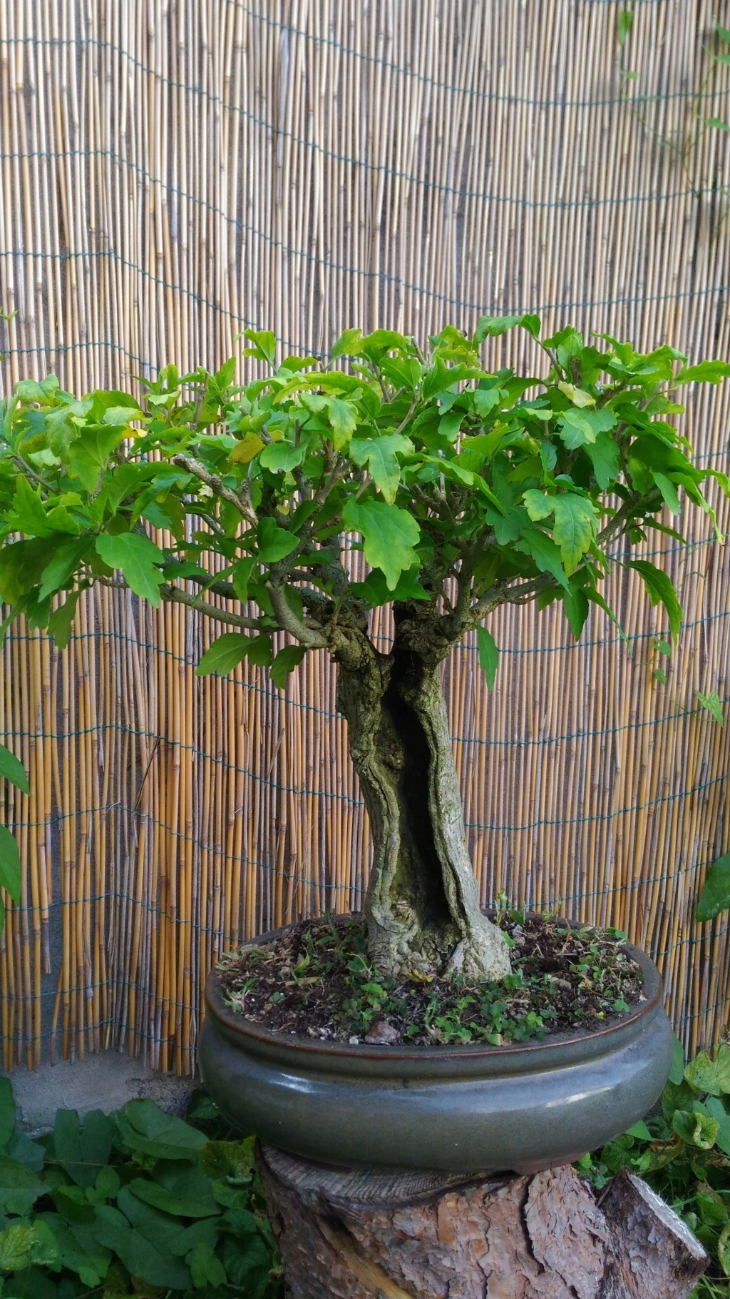 W.I.P. Hibiscus Syriacus scopa... a tronco cavo - Pagina 4 P_201810