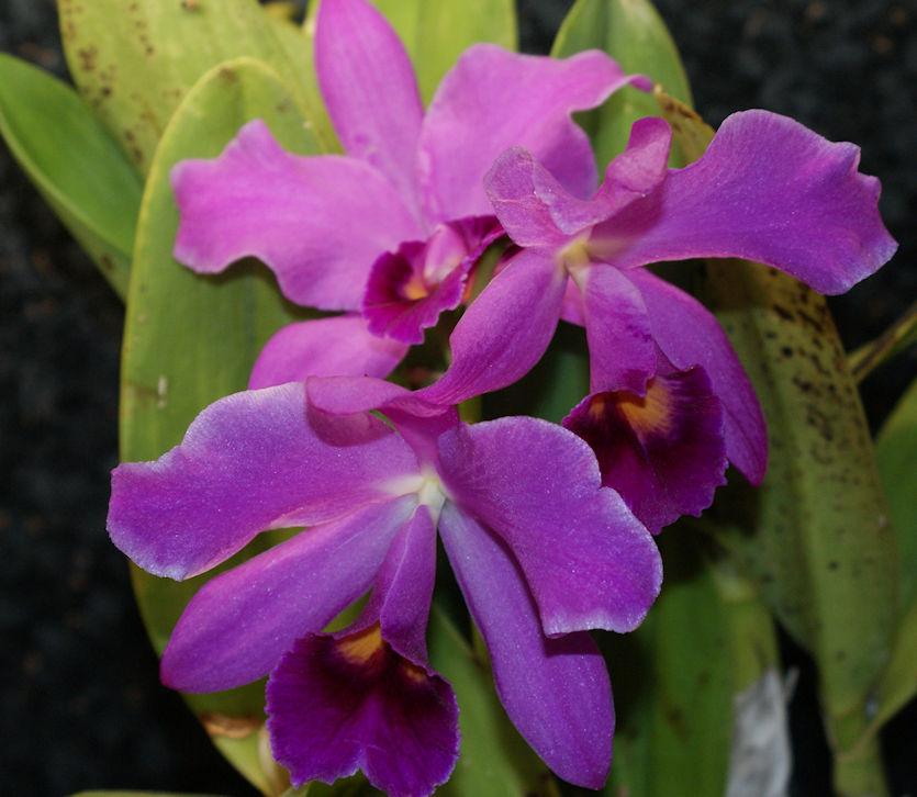 Orchideen 3 (fortlaufende Seiten 300 bis 400) - Seite 37 Catt_p10